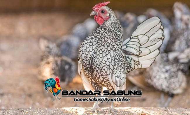 Ayam Sebright atau Ayam Batik sabung ayam online