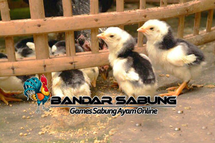 Bibit Ayam Aduan Berkualitas - Sabung Ayam Online