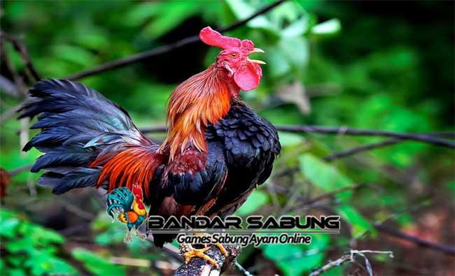 Tips Ayam ketawa rajin bunyi bagi pada pemula maupun penghobi berpengalaman