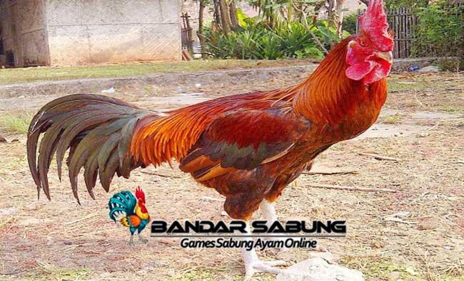 Tips Cara Beternak Ayam Pelung Bagi Pemula