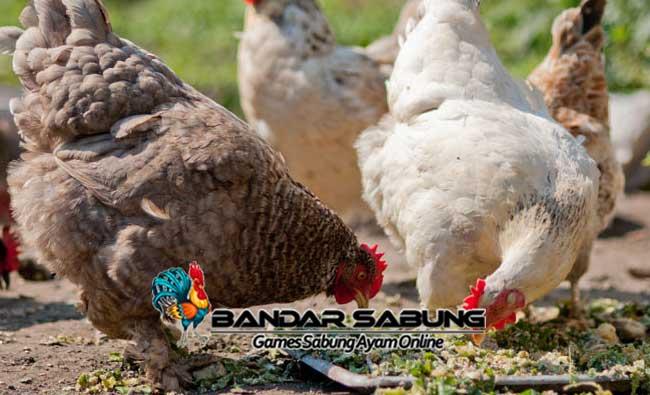 6 Cara Mengatasi Ayam yang Susah Makan