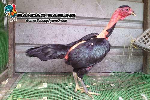 Kelebihan dan Kelemahan Ayam Saigon Beserta Cirinya