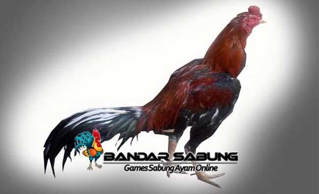 Ayam Bangkok Myanmar: Ciri, Keunggulan, dan Teknik Bertarungnya