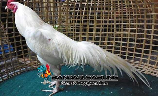 Manfaat Memelihara Ayam Bangkok Putih