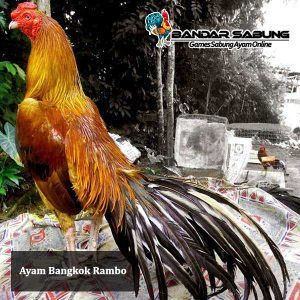 Ayam-bangkok-Rambo