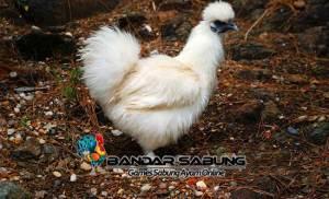 Ayam Silkie