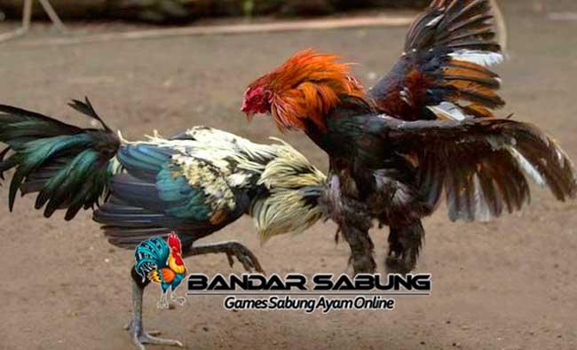 Gaya Bertarung Ayam Bangkok Aduan Juara - Sabung Ayam Online