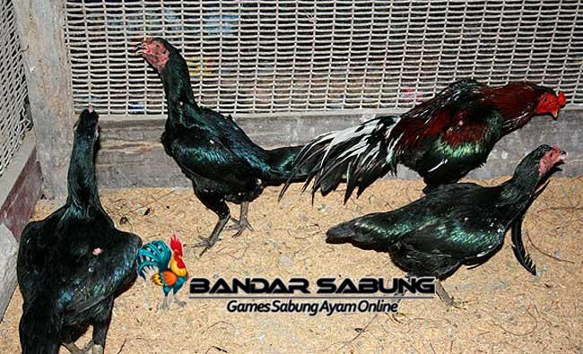 Persiapan Penting Memulai Usaha Ternak Ayam Bangkok Aduan - Sabung Ayam Online