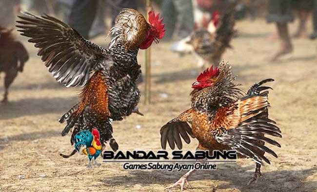 Resep Membangkitkan Stamina Ayam Aduan - Sabung Ayam Online