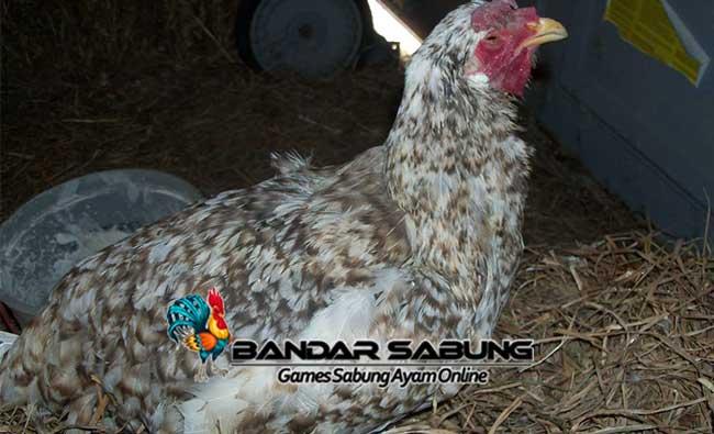 Sumber Penyakit Yang Dapat Menyerang Ayam Aduan