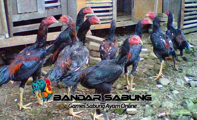 Usaha Ternak Ayam Bangkok Aduan - Sabung Ayam Online
