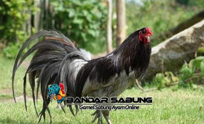 Sabung Ayam Online - Memelihara dan berternak Ayam Lokal saat ini sedang menjadi hobi yang hangat serta banyak dilakukan di masyarakat.