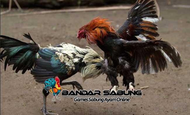 Tips Menyiapkan Ayam aduan Untuk Bertarung Sabung Ayam online yang bisa tim Sabung Ayam Online