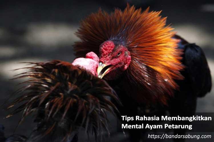 Tips Rahasia Membangkitkan Mental Ayam Petarung