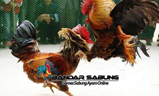 Fakta Menarik Mengenai Ayam Bangkok