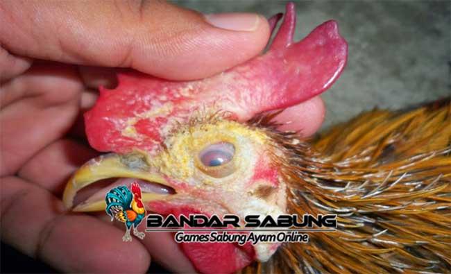 Tanda – tanda Kurap Pada Ayam kesayangan