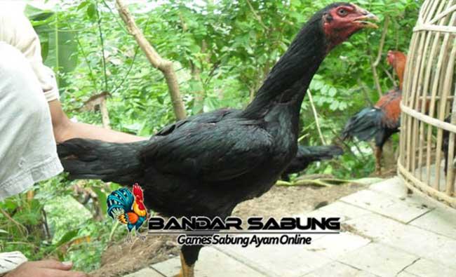 Indukan Ayam Yang Berkualitas Untuk Anakan Ayam Yang Tangguh