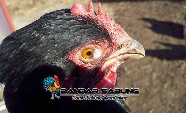Menyembuhkan Mata Ayam Aduan Yang Berbusa