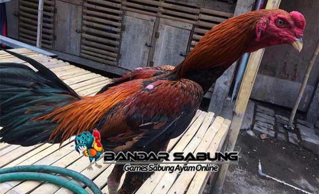 Mengenal Sejarah dan Asal Usul Ayam Bangkok