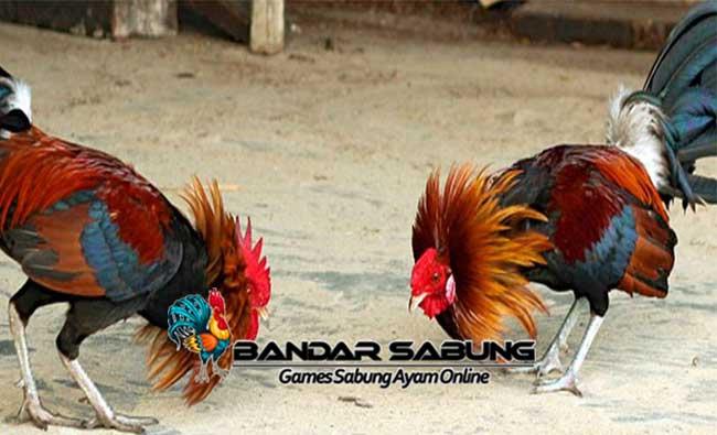 Teknik Ayam Aduan yang Berkualitas Juara