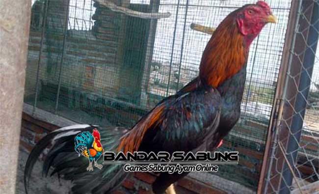 5 Kelebihan Ayam Pakhoy Ketika Bertanding