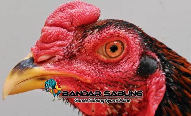 Tips Membuat Paruh Ayam Bangkok Aduan Menjadi Berbahaya