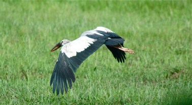 Open-billed Stork, Sri Lanka