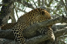 Leopard, Notens Camp, South Africa