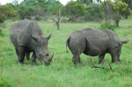 Rhino, Notens Camp, South Africa