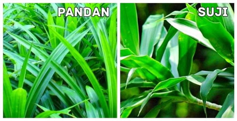 beda daun suji dan daun pandan