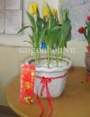 hoa tulip chau