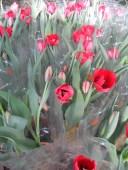 chau hoa tulip