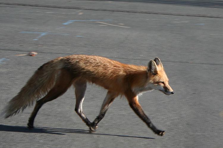 Lisica šeta tranzitom, medvjed na Banj brdu