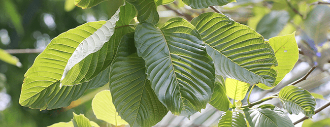 What Is Kratom And Why You Should Know About It - DARA Thailand
