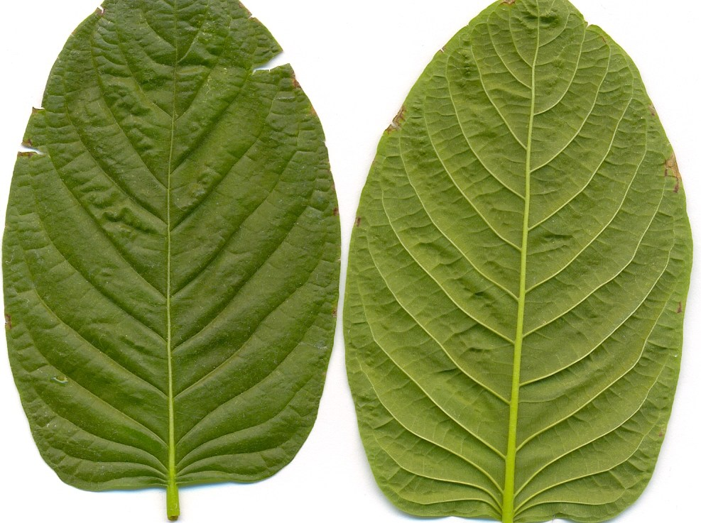 Which Kratom for Anxiety