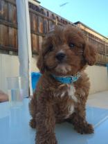 """""""This is Cavoodle 6667, His name is Ollie """""""