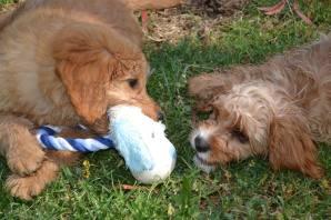 """Rosie (20 weeks ) and Ollie ( 11 weeks) having their first play date together !!"""