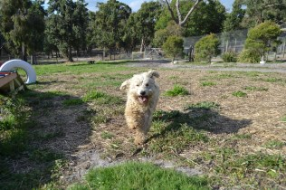 ADULT AGILITY PARK- Banksia Park Puppies - 54 of 117