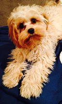 Rue Banksia Park Puppy