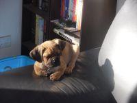 Banksia Park Puppy Review Dougie
