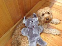 Banksia Park Puppies Phoebe