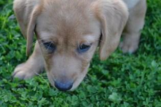 Banksia Park Puppies Cavador socialisation