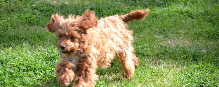 Taylor Banksia Park Puppy Cavoodle