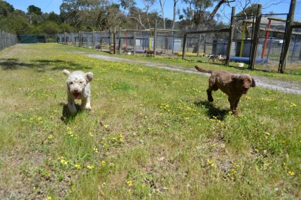Banksia Park Puppies Ayanna and MustBee