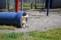 Tinker Cavie Banksia Park Puppies