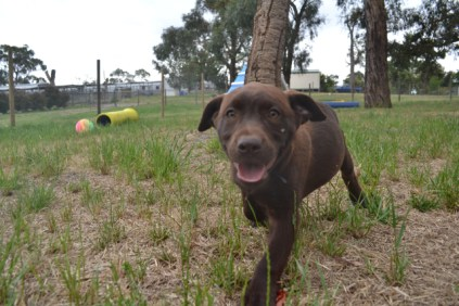 Banksia Park Puppies Meeka 2