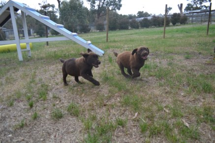 Banksia Park Puppies Mishka and Meeka
