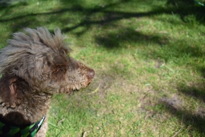 Alvin-Poodle-Banksia Park Puppies - 23 of 31