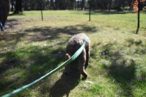 Alvin-Poodle-Banksia Park Puppies - 26 of 31
