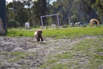 Banksia Park Puppies Ayasha - 13 of 36